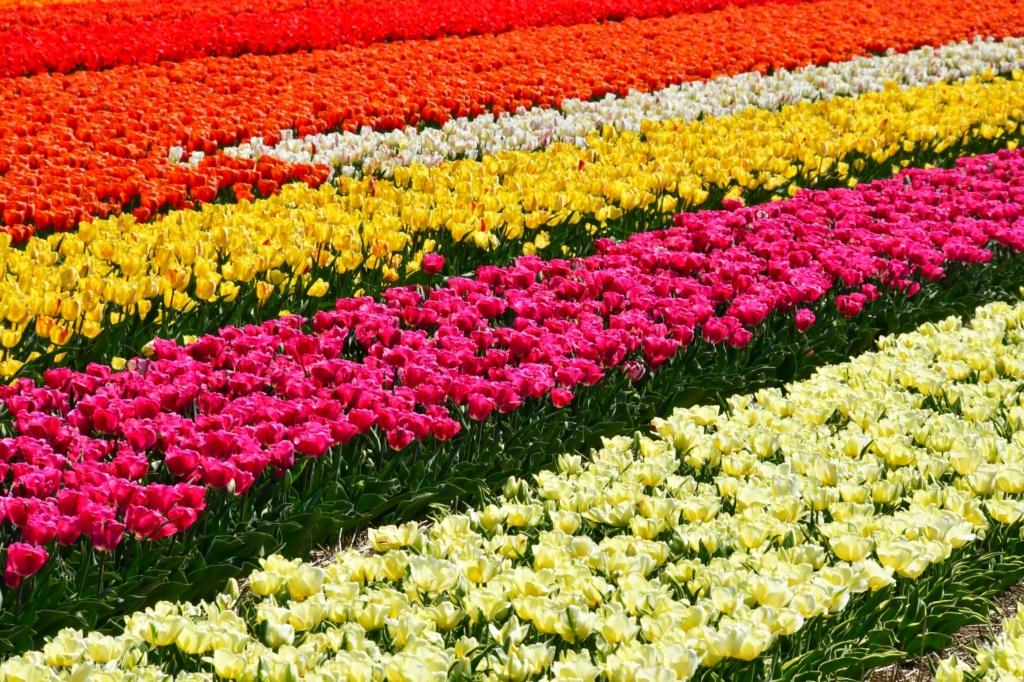 Campos Tulipanes Holanda Web