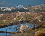 Los Almendros en flor…en la Alpujarra