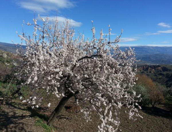 Almendro en flor en Alpujarra de la Sierra (Yegen)