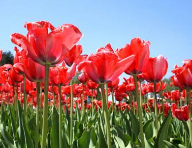 Semana Santa en Holanda: tulipanes en flor en Barco-Bici